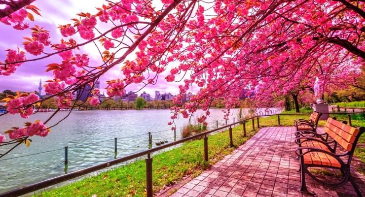 Wisata ke Jepang bersama keluarga menikmati bunga sakura